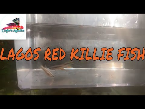 "lrb-unboxing-""lagos-red""-killie-fish"