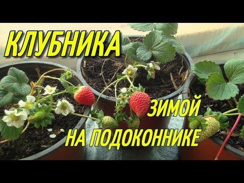 Вопрос: Вырастет ли садовая клубника на окне При каких условиях?