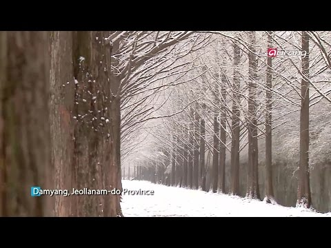 Culture Trove(Ep.17) Damyang, Metasequoia Road(담양, 메타세쿼이아 길)