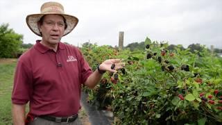 Natchez Blackberries