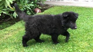 Belgian Shepherd Puppy // Chewie The Groenendael