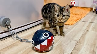 子猫が初めてワンワンに遭遇するとこうなりますw