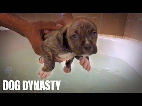 Doggy Paddle: Hulk's Adorable Pit Bull Puppies Learn To Swim
