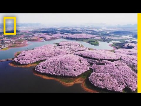 Cherry Blossoms and Other Beautiful Flowers Usher in Spring in China | National Geographic