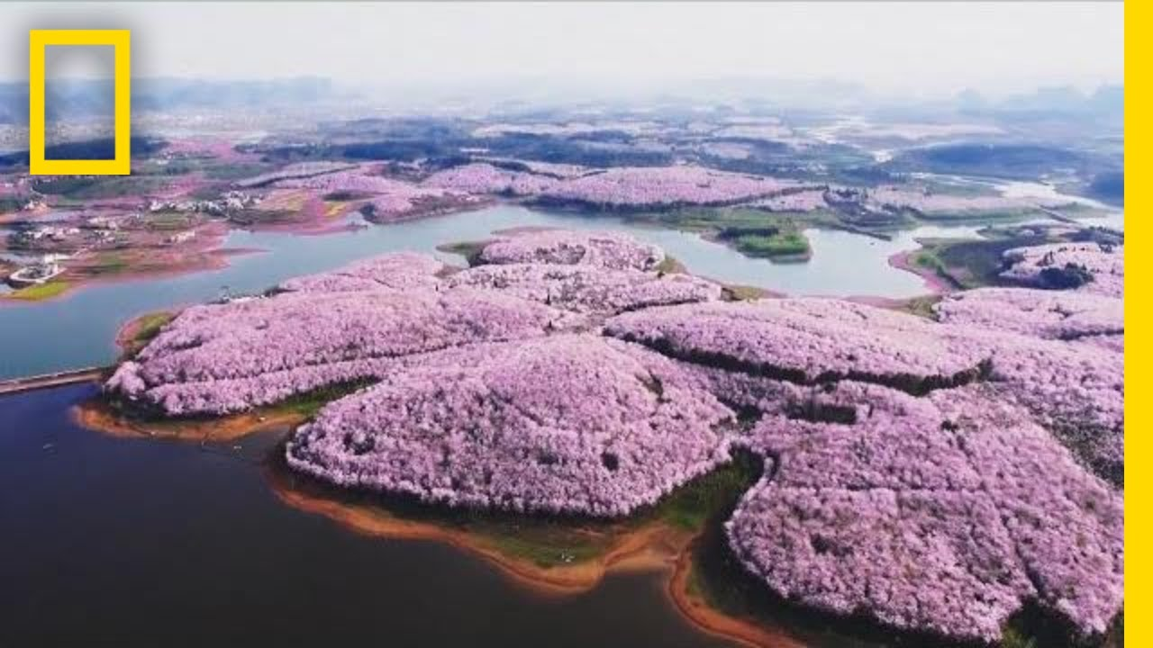 Cherry Blossoms And Other Beautiful Flowers Usher In Spring In China National Geographic