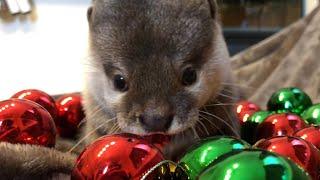 カワウソさくら クリスマス!サンタのプレゼント? Christmas otter