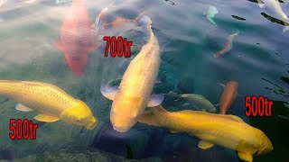 Hồ Cá Koi 22 tỷ và chú cá Koi Vàng 700 triệu ở công viên Cá Koi Nhật Bản Rin Rin Park