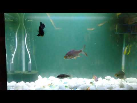 CASSIE: Jalpari Fish
