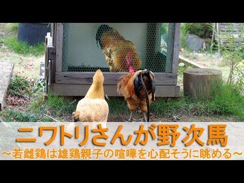 ニワトリさんが野次馬~若雌鶏は雄鶏親子の喧嘩を心配そうに眺める~