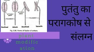 ATTACHMENT OF FILAMENT TO ANTHER LOBE EXPALIN (plant modification part) in hindi