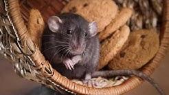 Ameri-Tech Pest Control Arlington TX 76001 Rodent Control