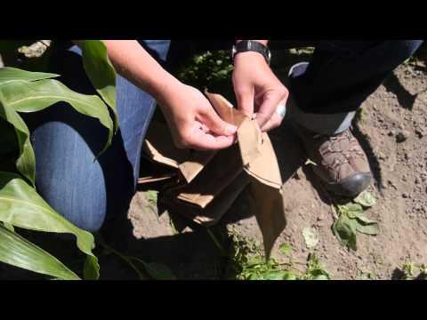 Hand Pollinating Corn for Seed Saving