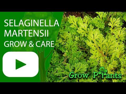 Selaginella Martensii - Grow & Care (Spikemoss)
