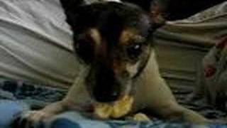 "My neighbor's dog ""Bubu"" eating his favorite snack banana at my hou..."