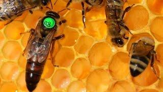 Чипированная пчела. Хозяйство А.А Цветкова