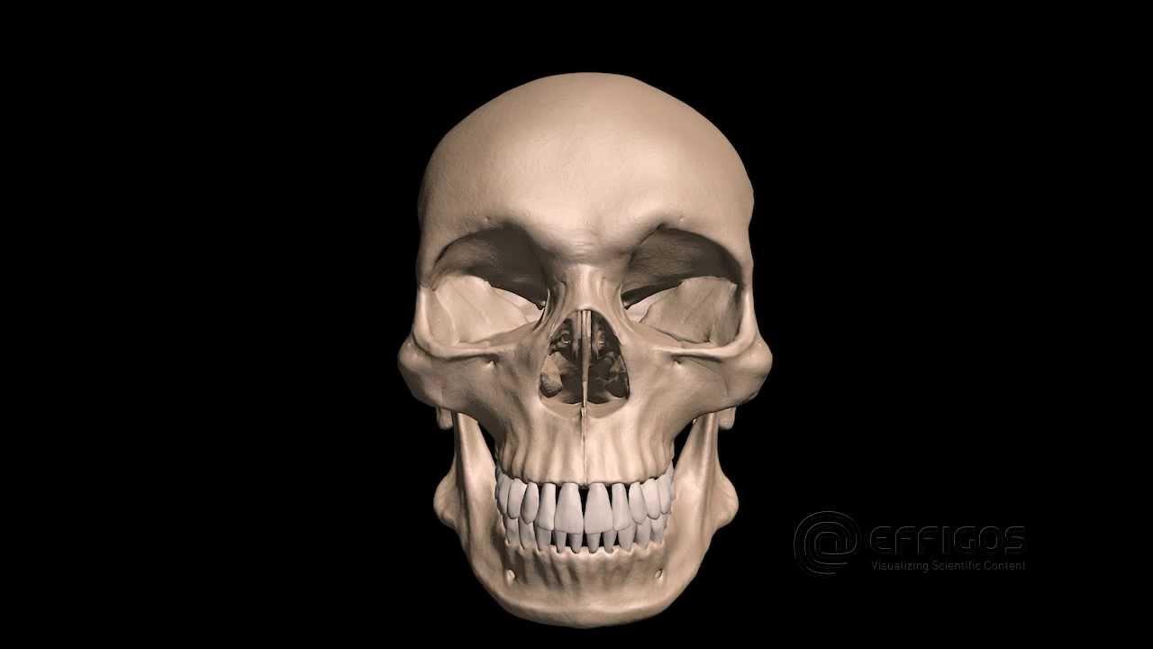 3D-Animation des menschlichen Schädels und des Keilbeins - YouTube