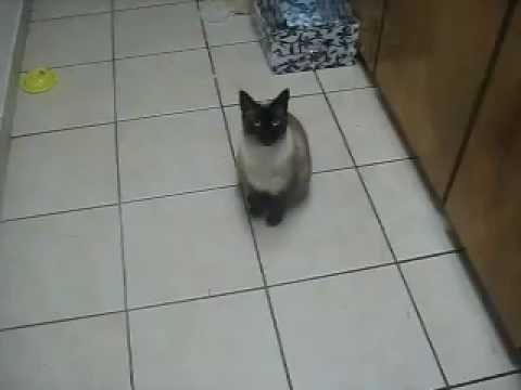 Siamese Manx Cat Mimics