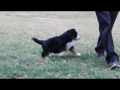 Bernese Mountain Dog Puppies For Sale David Stoltzfus