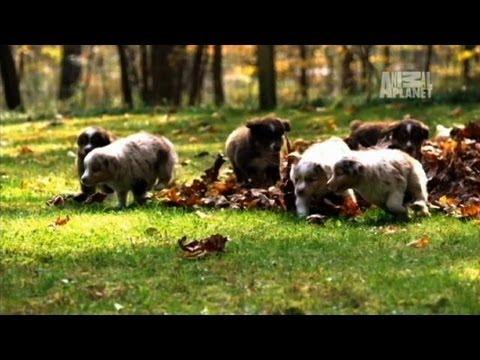 Mini Australian Shepherds | Too Cute!