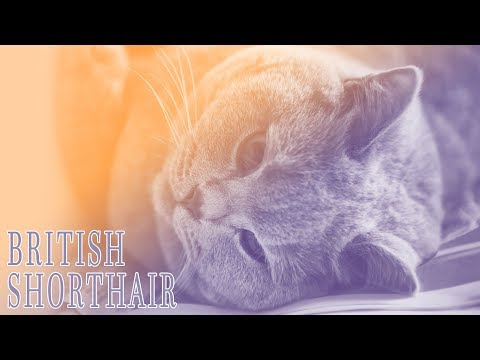Ideal Companion: British Shorthair | Cat Breeding Videos