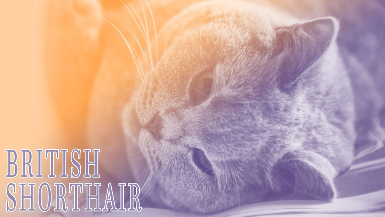 Ideal panion British Shorthair