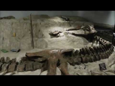 Wankel rex (Tyrannosaurus rex) Fossil, Museum of the Rockies, Bozeman, Montana, USA