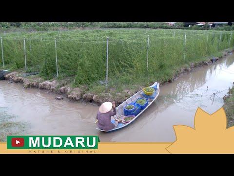 Sự hình thành và phát triển Trà khổ qua rừng Mudaru | HTV9