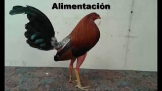 Alimentación de gallos de pelea