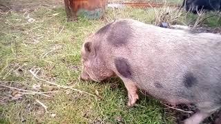 Вьетнамские свиньи пасутся