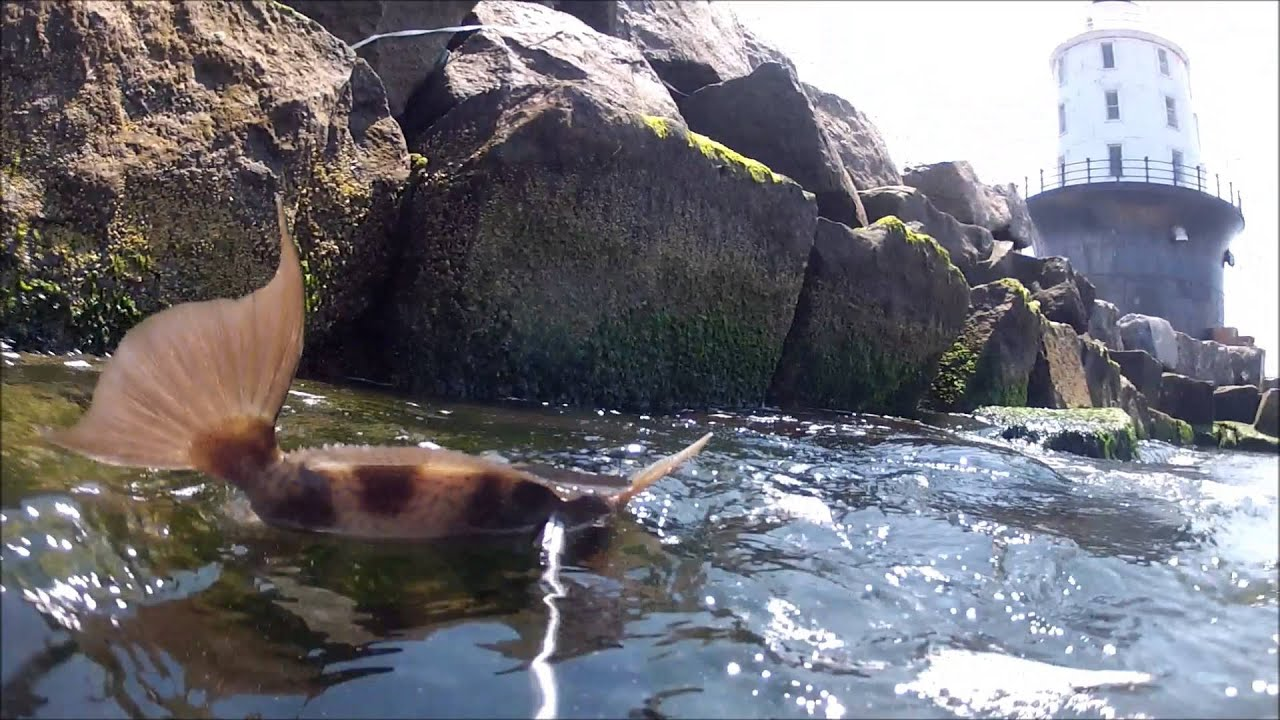 Cape henlopen tautog trigger fish july 17 2013 youtube for Cape henlopen fishing report