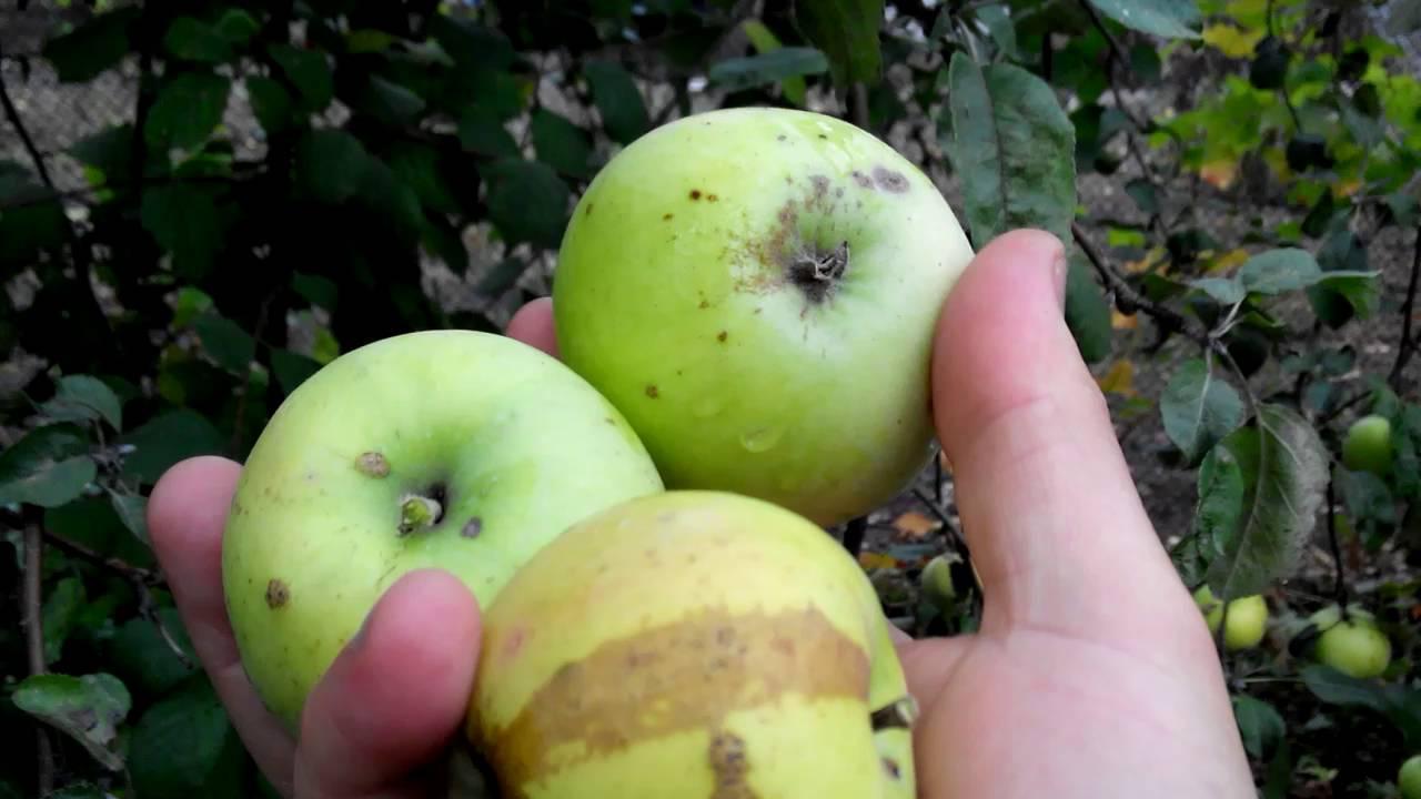 Как правильно срывать яблоки для хранения.