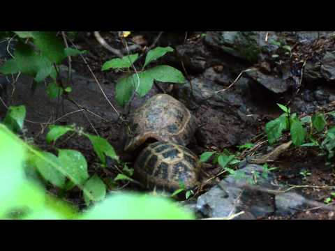 Elongated Tortoise fight !, July 26th 2015, Chiang Mai