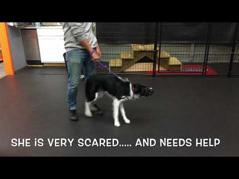 Boarder Collie Harley Hourly Lessons Dog Trainers In MD Off Leash K9 Training, Maryland
