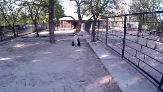 Чёрно белая лама лежит за ограждением в зоопарке