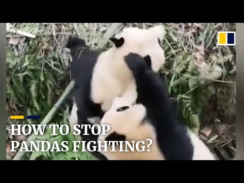 Keeper uses apples to stop fighting pandas in China