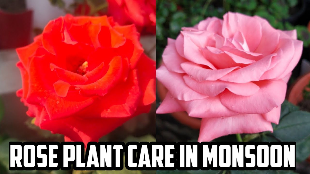 Rose plant care in monsoon  rainy season special