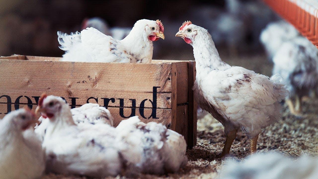Økologiske kyllinger på Hovelsrud gård