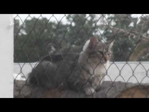 House cat bobcat  Mix