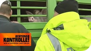 Schweinerei! Überfüllter Schweinetransporter wird von der Polizei angehalten! | Achtung Kontrolle