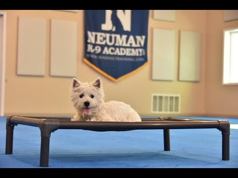Coconut (West Highland Terrier) Puppy Camp Dog Training Video Demonstration