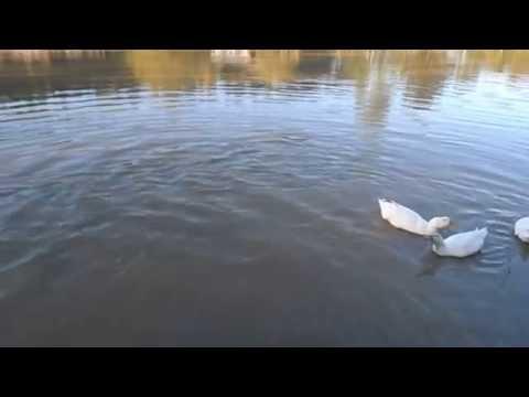 12 It's Just Ducky At Cornucopia Ranch Fri April 25 2014