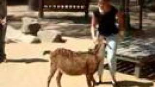 Hokey Pokey Goat