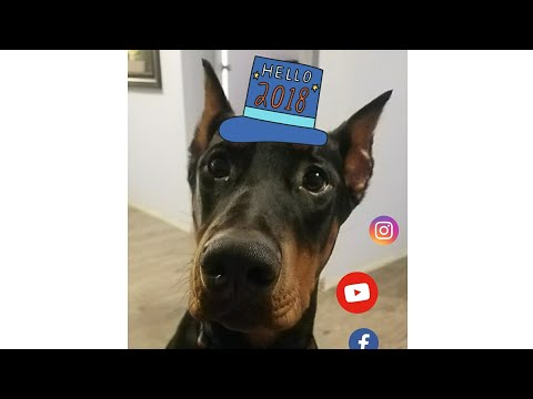 European Doberman Pinscher, Zeus 2017 Compilation!