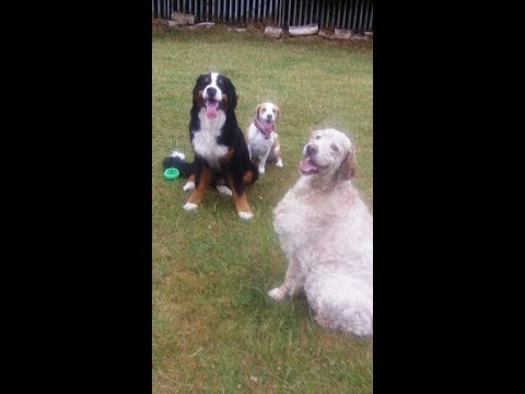 Jasper Beagle, Murphy Bernese Mountain Dog & Otis English Setter whizzing.