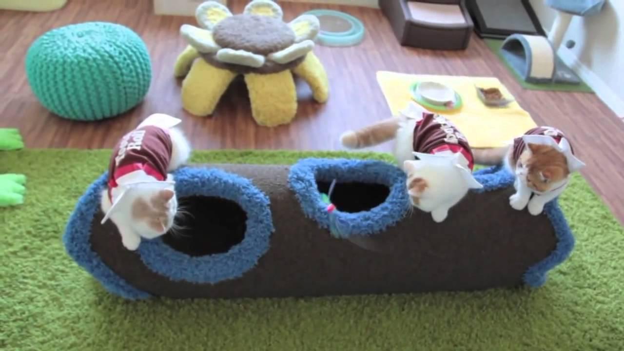 Персидские котята играют