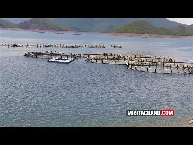 Avanza Michoacán en producción de tilapia; busca ser primer lugar nacional