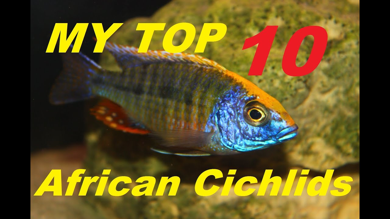 african cichlids my top 10 youtube
