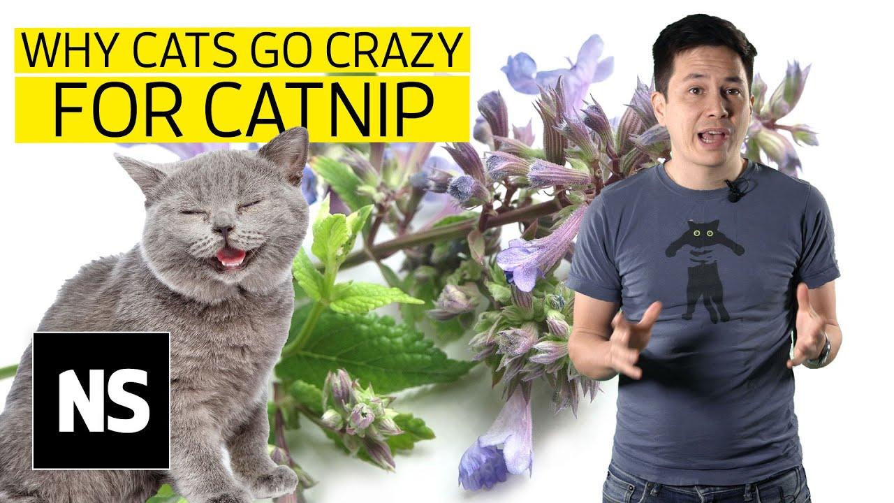 Why do cats go crazy for catnip? - Science with Sam