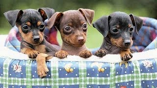 60 Seconds Of Cute Miniature Pinscher Puppies!