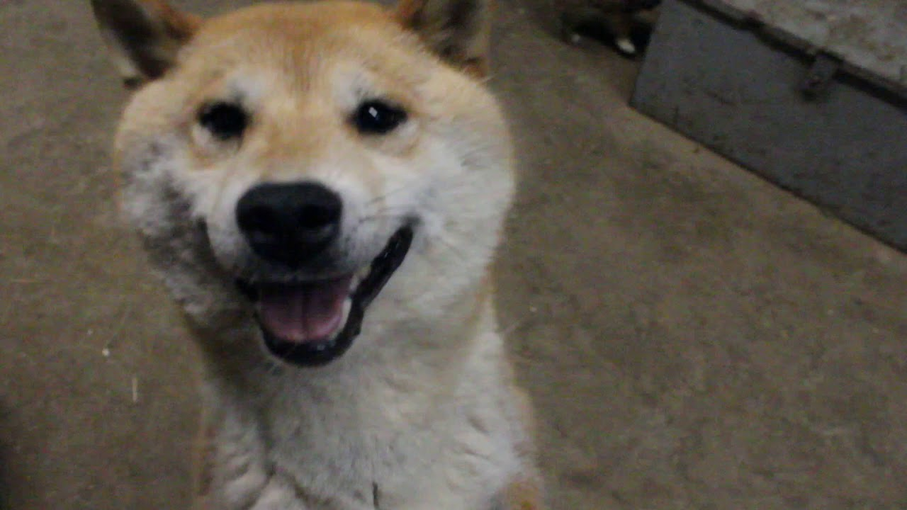 Shiba Inu Puppy's Sheer Heaven, playing 4-30-2020